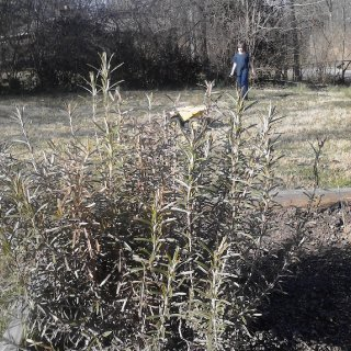 Will have to see about my huge rosemary.. It is prety burnt. :( But I hope it makes it..  And my older boy in the back