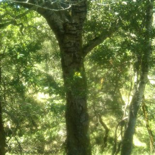 This tree has earned it's tiger-stripes from all of the woodpeckers working it's bark.