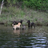 Our 4 doggies - in our dam after lots of rain