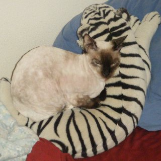 July 2012, my 20 year old Siamese, Little Big Mouth(yes, that's what's on her papers) cuddled with a big stuffed animal. She's freshly shaved, btw. Otherwise she looks more like a tan calico than than a white Siamese. She's an Applehead breed. Brat. Nag. Lives up to her name. Likes ordering me and my husband around.  Likes: raw eggs, Vienna sausages(that's her junk food), spicy pickled sausages(the red kind in the five gallon jugs), Kerry Gold 'Dubliner' cheese, oh and anything my husband slobbers on. If he slobbers on it, she'll eat it no matter what it is. Disgusting, I know. But she's some kinda crazy in love with him.  Hates: One, the fact that she has only about three teeth left in her head because she's so old so we have to soak her food for her. Two, being washed with anything except her Chanel no. 5 scented kitty shampoo. She'll gouge your eyes out if you put citronella soap on her. Which is too bad because it really does help with fleas. So I just rub diluted citronella oil into her fur and let her be pissed at me for a while.