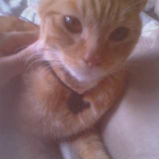 this is my cat Apollo hes wearing my Opeth necklace. ahaha