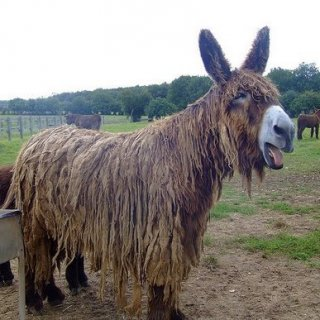 dreadlocks in nature this is a baudet donkey they dread naturally