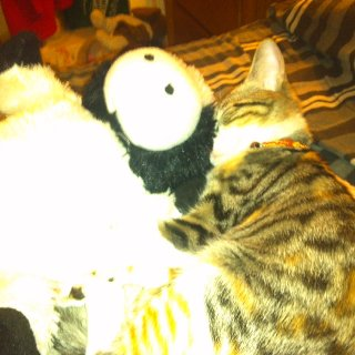 daw raja snuggling with moo cow