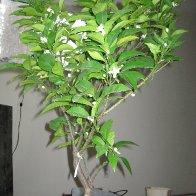 the naval orange tree i grow