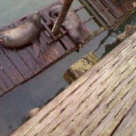 Sea Lion's, The one on the left was attacked by a shark, its scared up