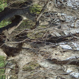 dready tree