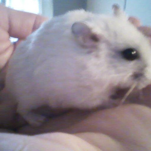 Dinky... my dwarf hamster :)