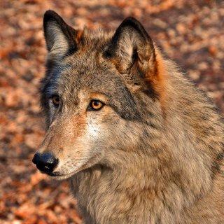 211wolf