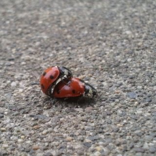Ladybugs on my front step. Not very lady like...
