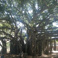 Awesome Tree in Hawaii