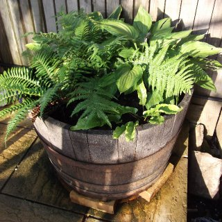 My own lush, ferny shade garden...in an old whiskey barrel.