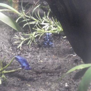 Poison Arrow Frogs