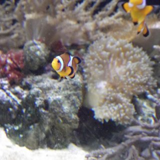 Clown Fish.