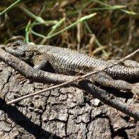 Photogenic Swift Lizard