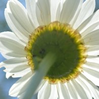 daisy from a faeries point of view
