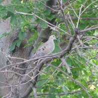 Mourning Dove nesting outside of my house
