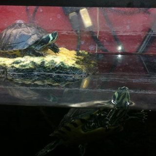 yellow belly slider turtles