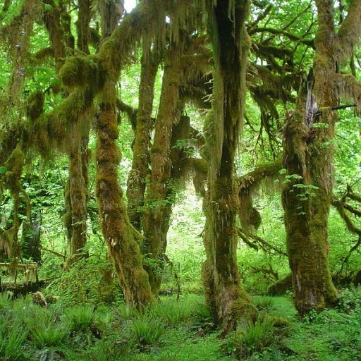 799px-Hoh_Rain_Forest_Maples