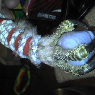 red tail hawk roadkill claw i made