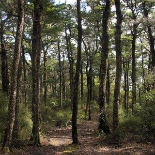 black beech forest