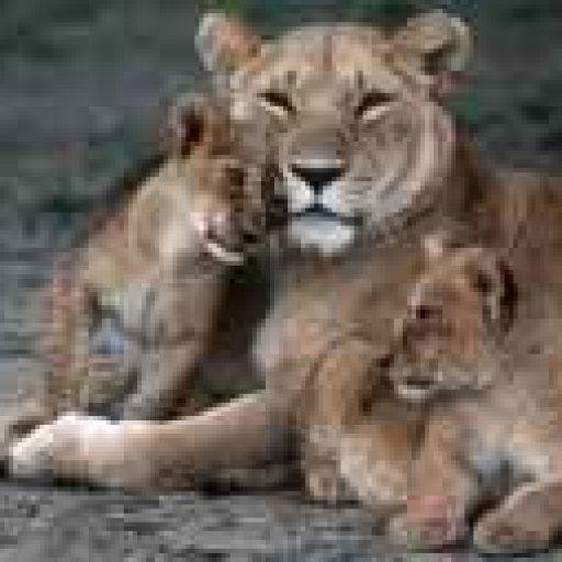 Cubs_cuddle_Lioness