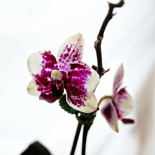 orchidedited