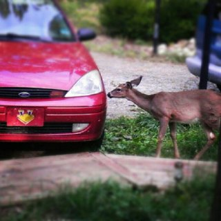 I knew they were conspiring to kill me... My car and a deer.