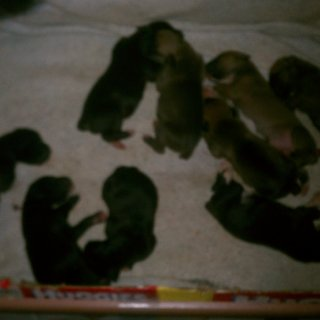 I forgot to show everyone. Jan 2 we got 9 puppies. 1/2 great dane 1/2 boxer. We have great boxers