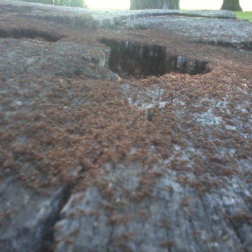 huge cut oak tree059