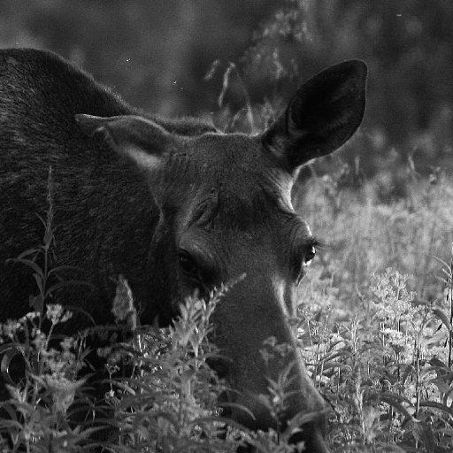 angry moose
