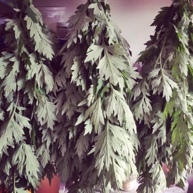 mugwort drying for medicinal magics
