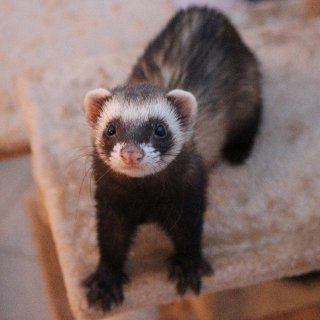 Polecat female ferret