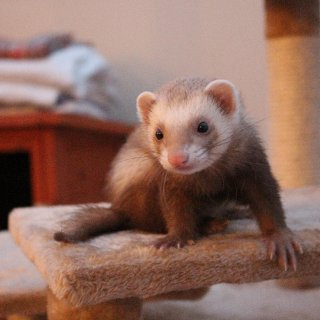 Cream female ferret