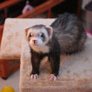 Silver male ferret