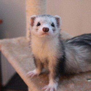 Silver male ferret.