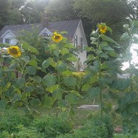 some of our Sunflowers