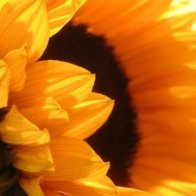 Sunflower_by_lauperr