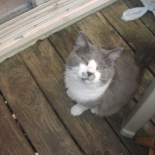 My beautiful gray and white cat. Hes still a kitten.