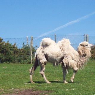 natty camel