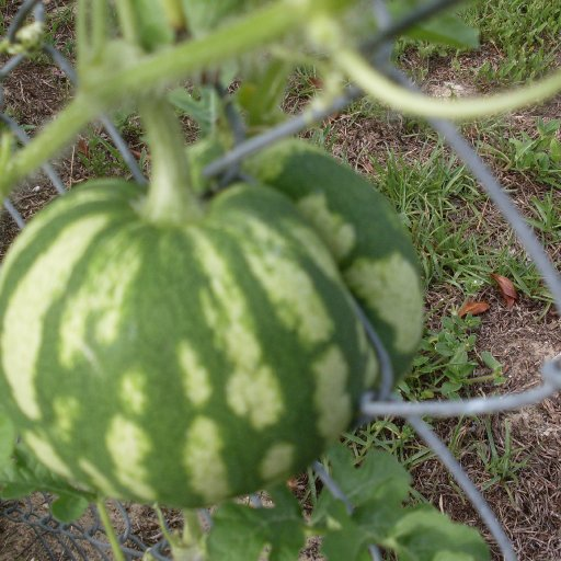 Watermelons Jun 2010 064