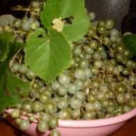 Grapes Aug 2010 040