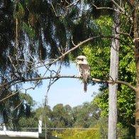 Kookaburra :)