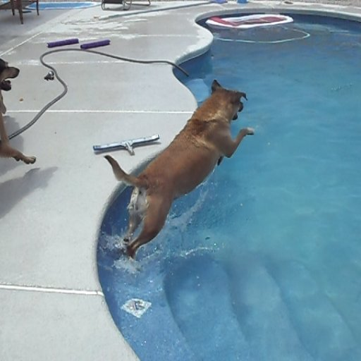 Our dog Freja DIVING into the pool