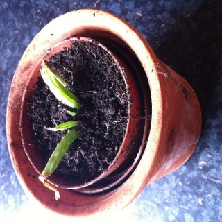 All the Aleo Vera plants started in the wee terracota pot as one plant :)