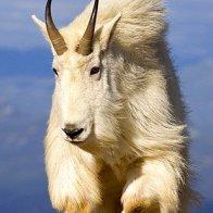 Goat lion