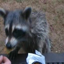 Coon likes corn chips